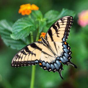 Orange-Blue-Butterfly