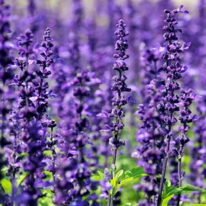 Purple-Sage