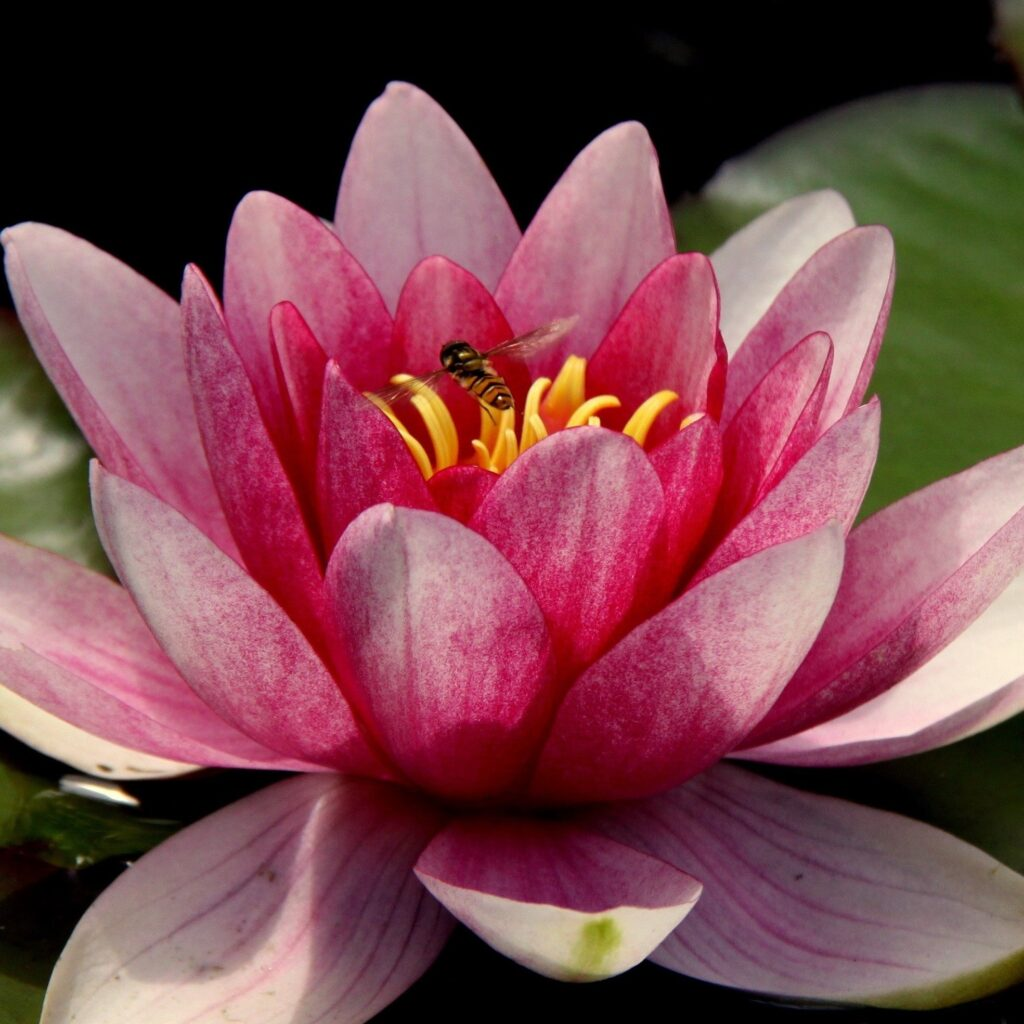 Water-Lily-2