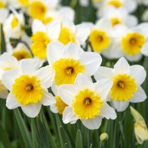 White-Narcissus