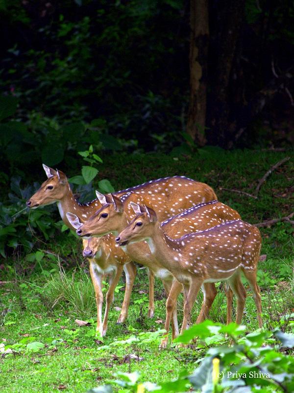 Deer in Nagarhole National Park