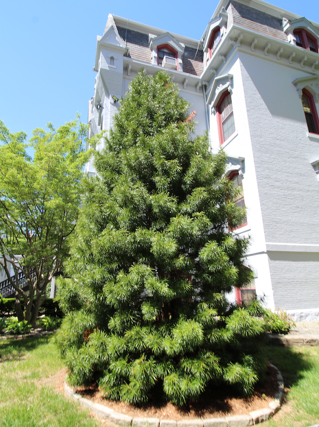 Monsignor Tony's Tree