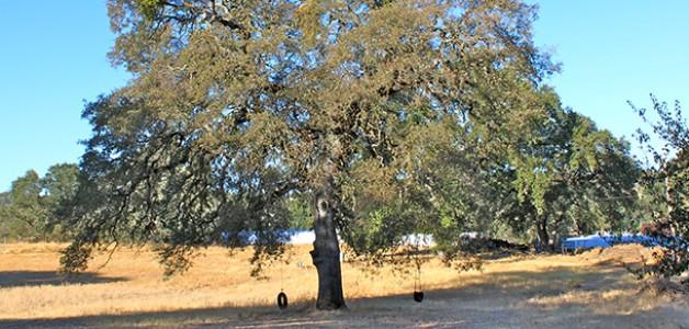Oak Trivia