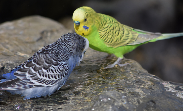 "Budgerigar ""Budgies"""