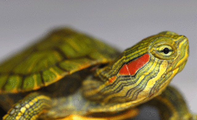 Read-Eared Slider Turtle