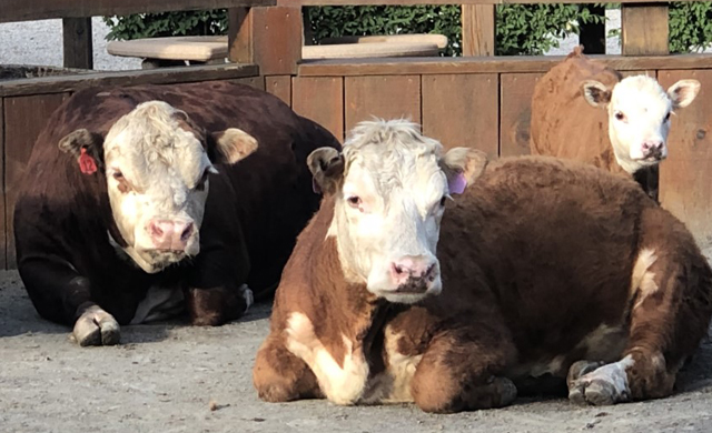 Miniature Hereford Cattle