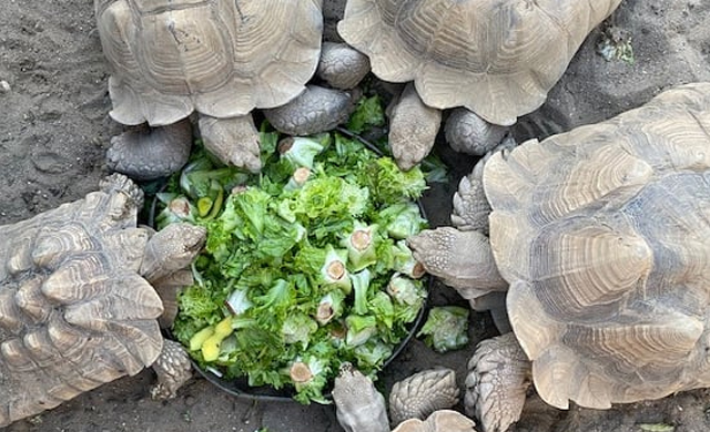 Spurred Tortoise
