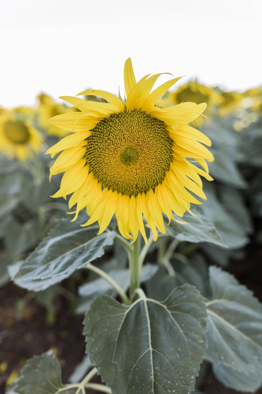 Ruthie Ridley Blog: Sunflower Fields In Winters California