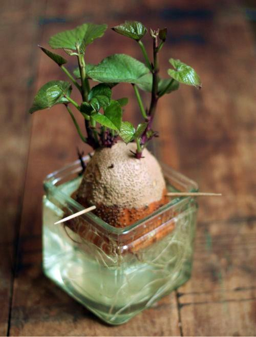 how to grow a potatoes in house