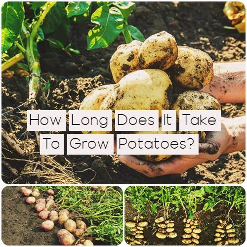How Long Does It Take To Grow Potatoes?