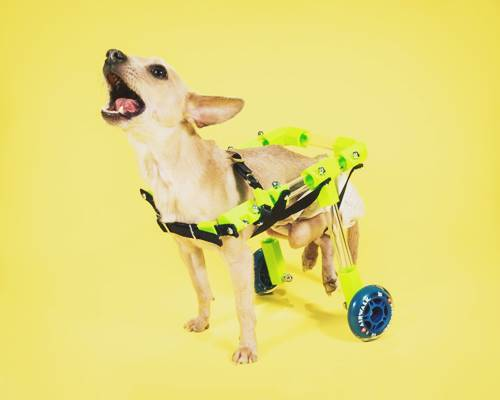 Custom Canine Dog Wheelchair