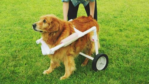 Golden Retriever Wheelchair