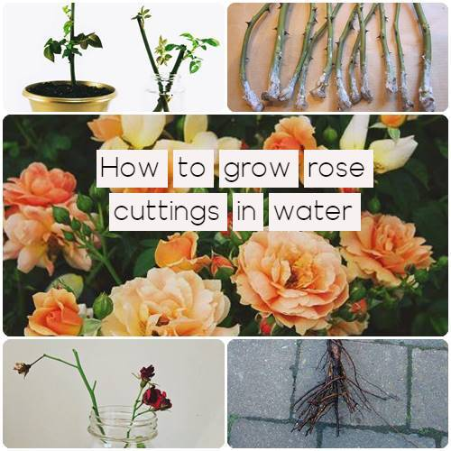 how to grow rose cuttings in water
