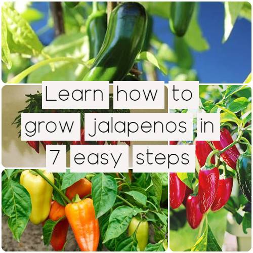 Learn how to grow jalapenos in 7 easy steps!