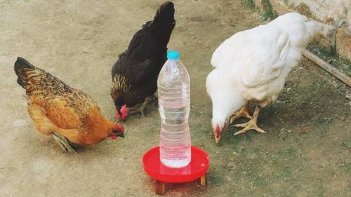 plastic bottle chicken water feeder