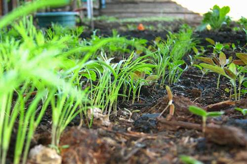 Best Soil Temperature For Dill