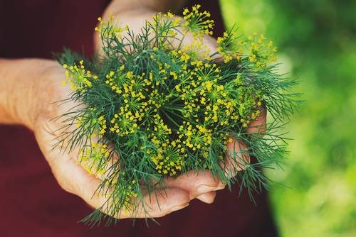 Pests and Diseases In Dill