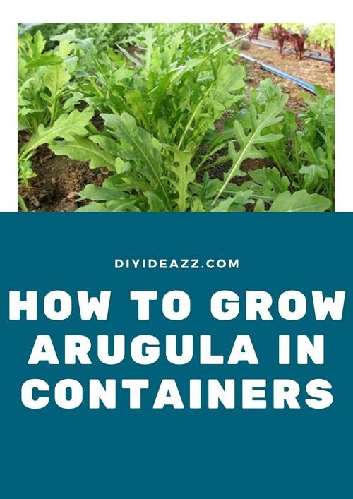 How To Grow Arugula In Containers | Guide to growing arugula indoors