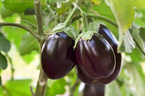 How to Grow Eggplant In Container & Pot