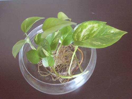 How to grow money plant in water from cutting