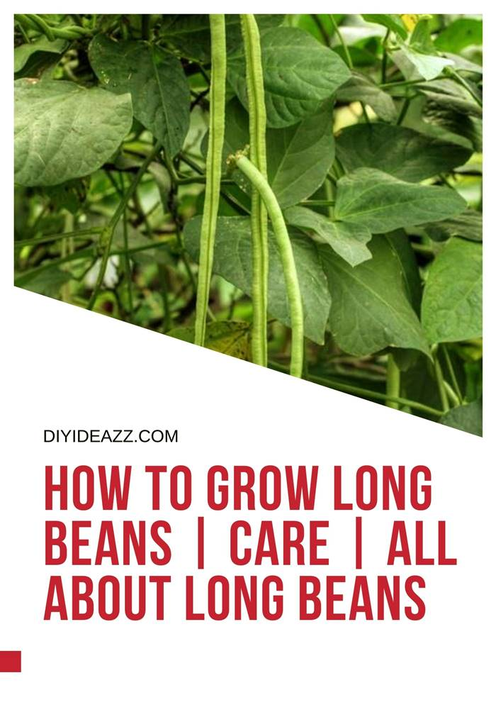 How To Grow Long Beans | Care | All About Long Beans