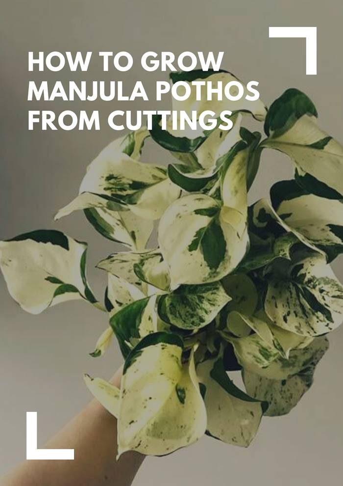 How To Grow Manjula Pothos From Cuttings