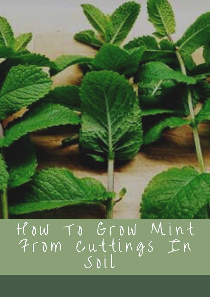 How To Grow Mint From Cuttings In Soil   How To Grow Mint In Containers