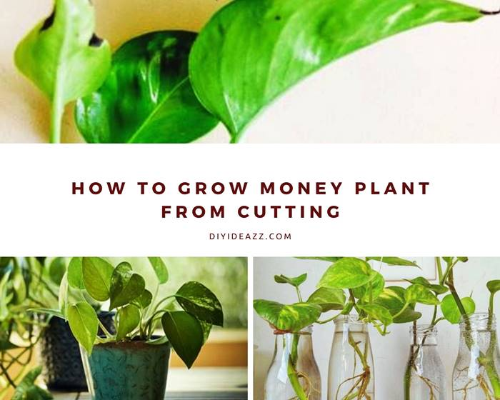 How To Grow Money Plant From Cutting | Grow money plant in water & soil