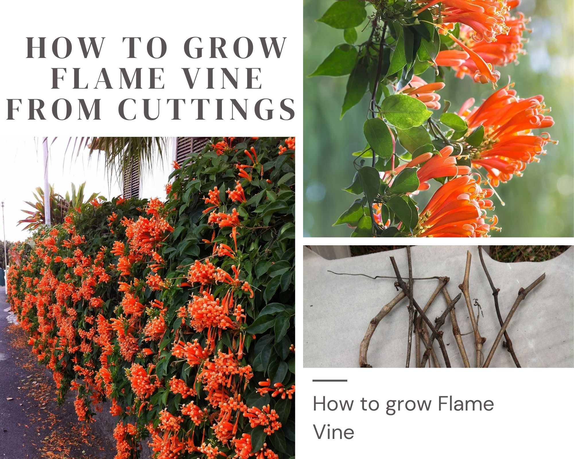 How To Grow Flame Vine From Cuttings   Grow Successfully Flame Vine