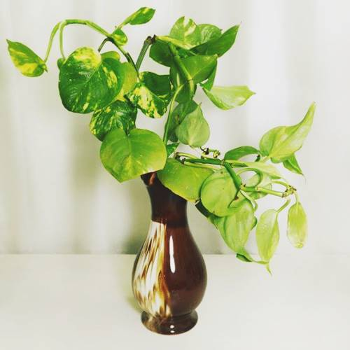 Grow money plant in a vase from water