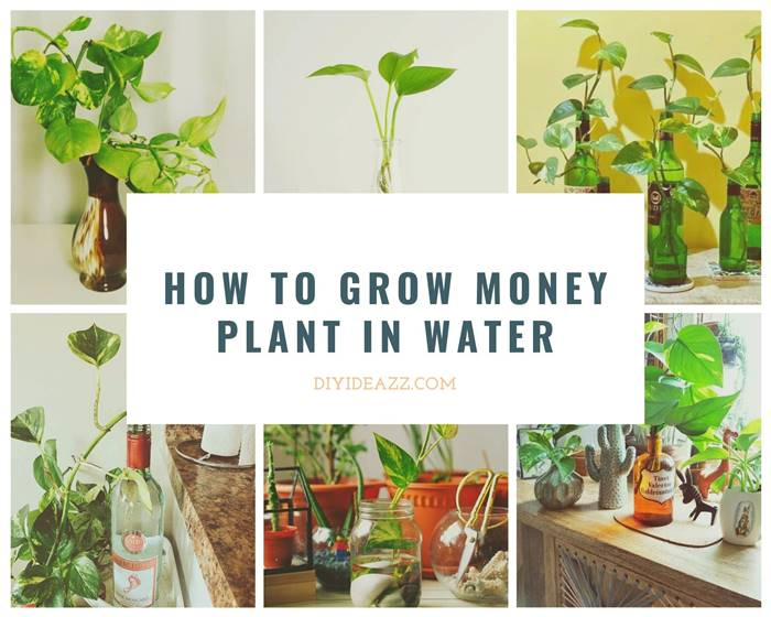 Now you don't have to deal with soil for growing the money plants at home. Here you will learn how to grow money plants in water