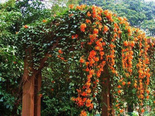 How To Grow Flame Vine From Cuttings | Grow Successfully Flame Vine