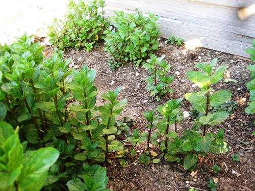 How to grow mint from cuttings in Garden