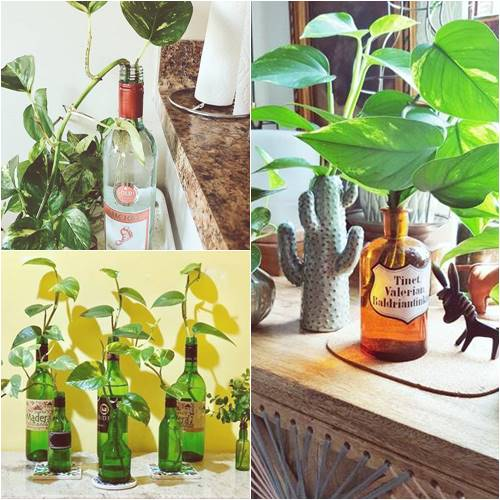 Grow money plant in sauce bottle from the water