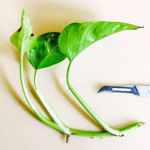 How to grow money plant from cutting