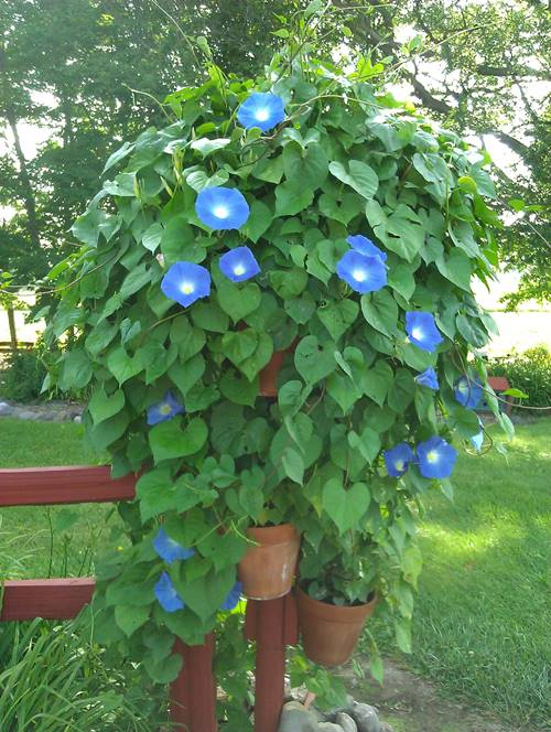 How to grow morning glory from seeds in a pot