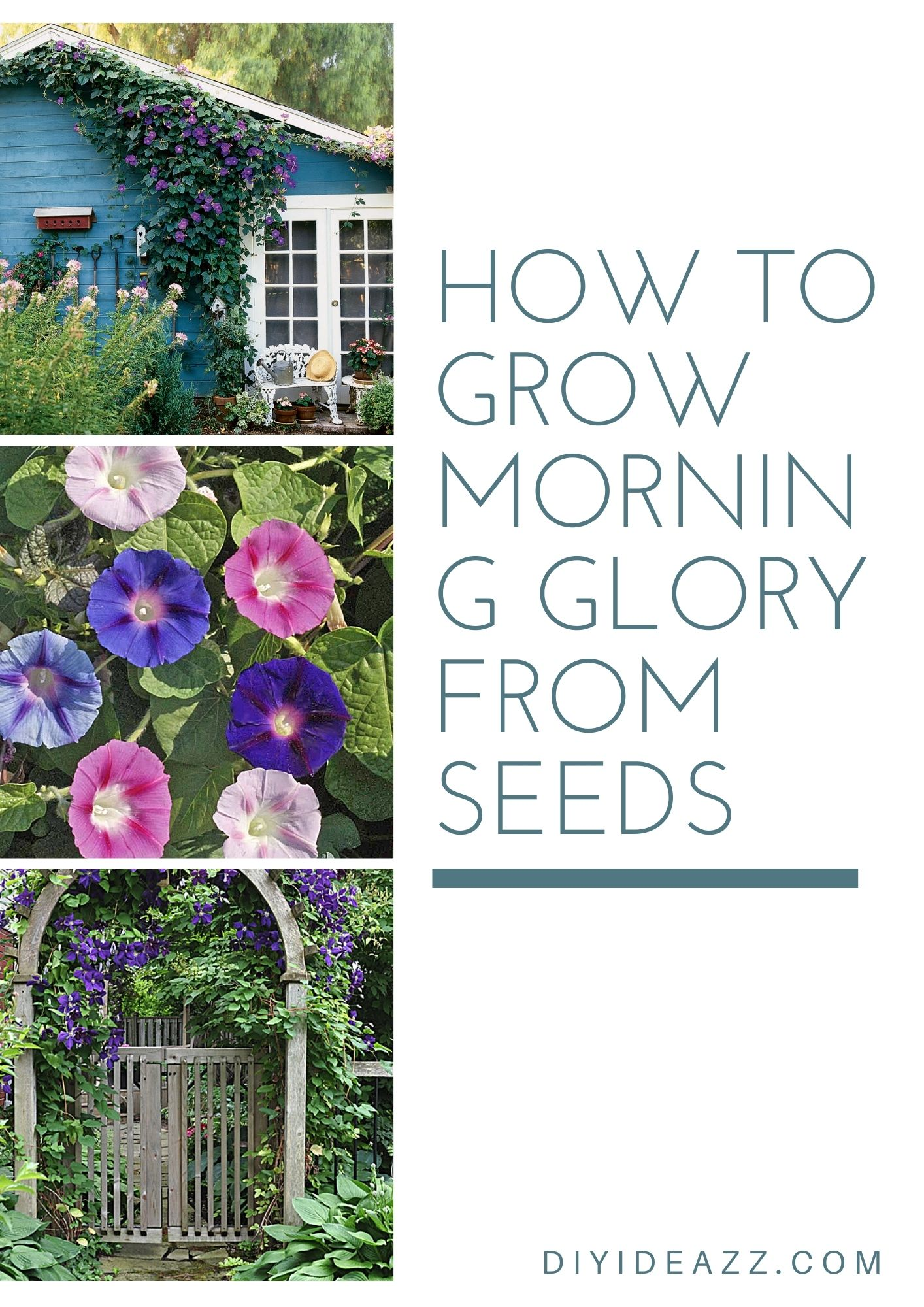 How To Grow Morning Glory From Seeds   Propagate Morning glory successfully
