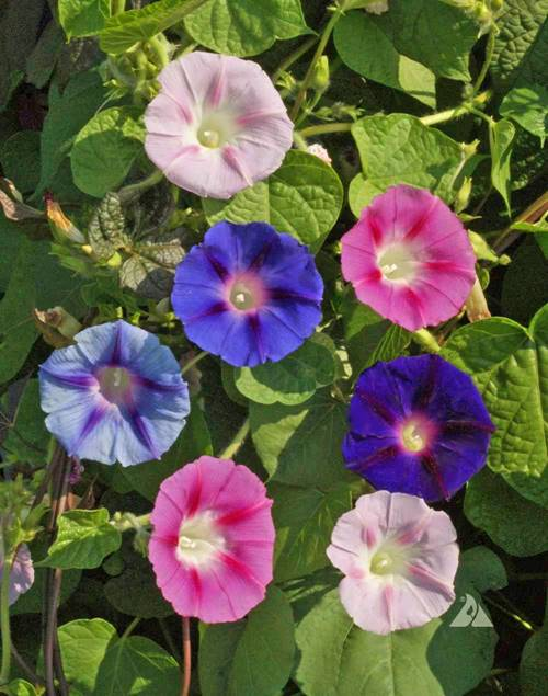 Types of morning glory