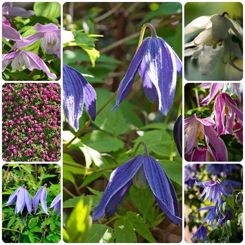 types of clematis