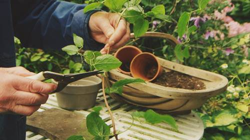 How to propagate clematis from seeds and cuttings