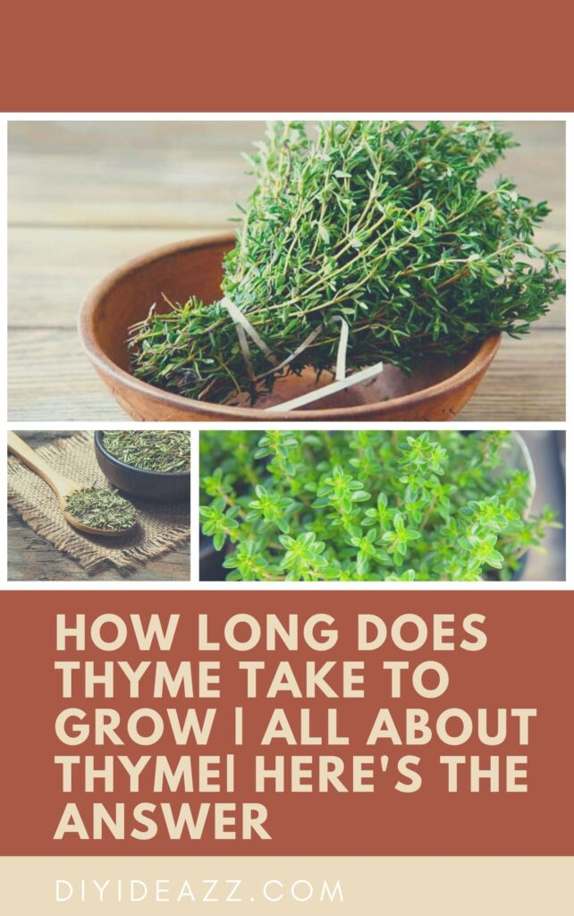 How Long Does Thyme Take To Grow | All about thyme| Here's the answer