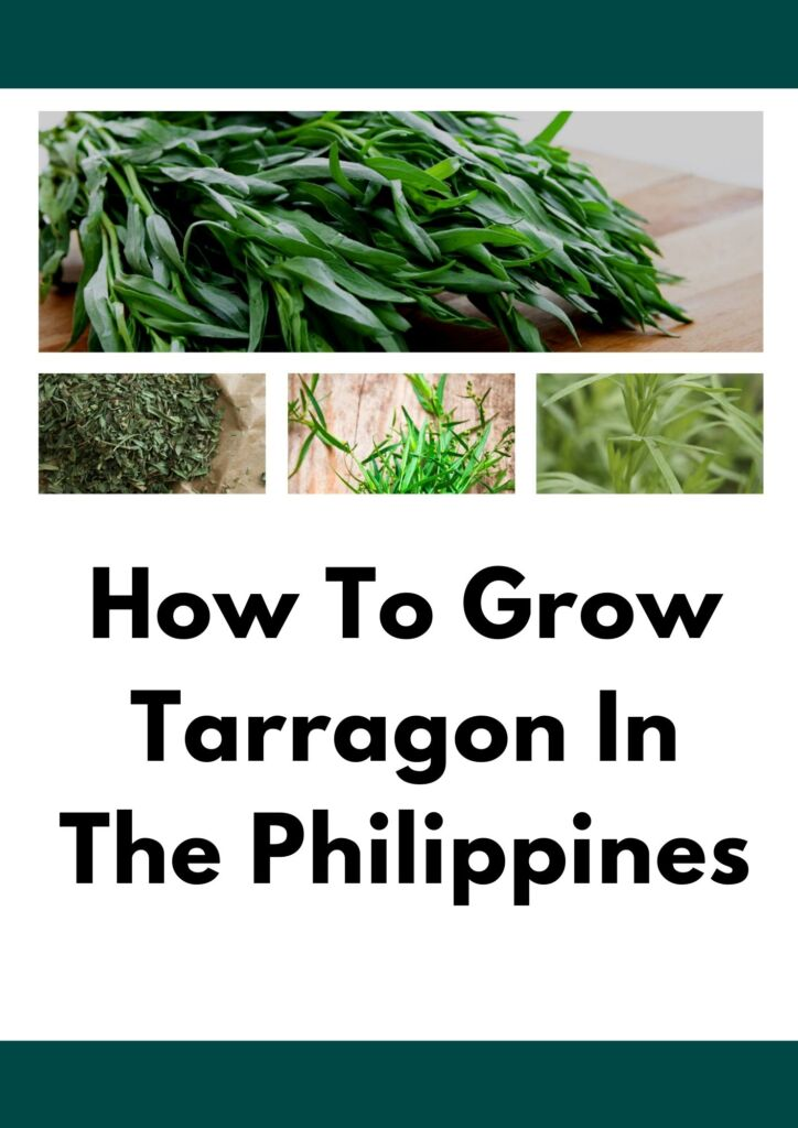 How To Grow Tarragon In The Philippines | Detailed Article