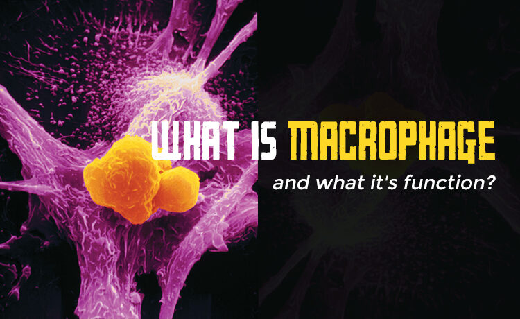 What is macrophage and what it's function Blog Featured Image