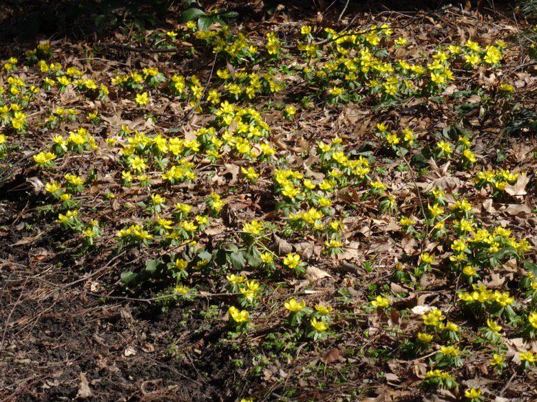 Eranthis hyemalis flowers