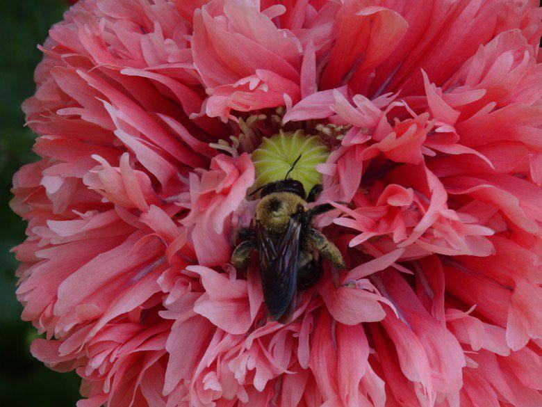 Poppy Flower Image
