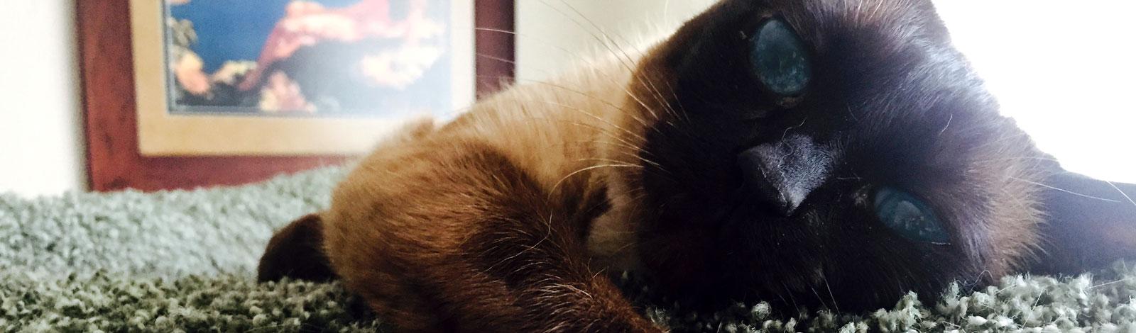 pet sitter watching cat in willow glen