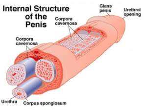Image depicting the internal structure of the male penis