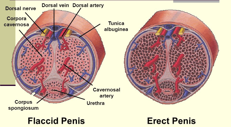 Image depicting the interior construction of the male penis.