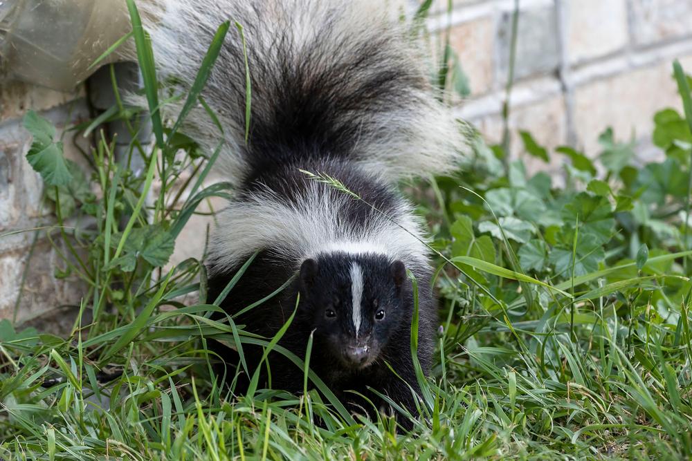 keeping skunks away