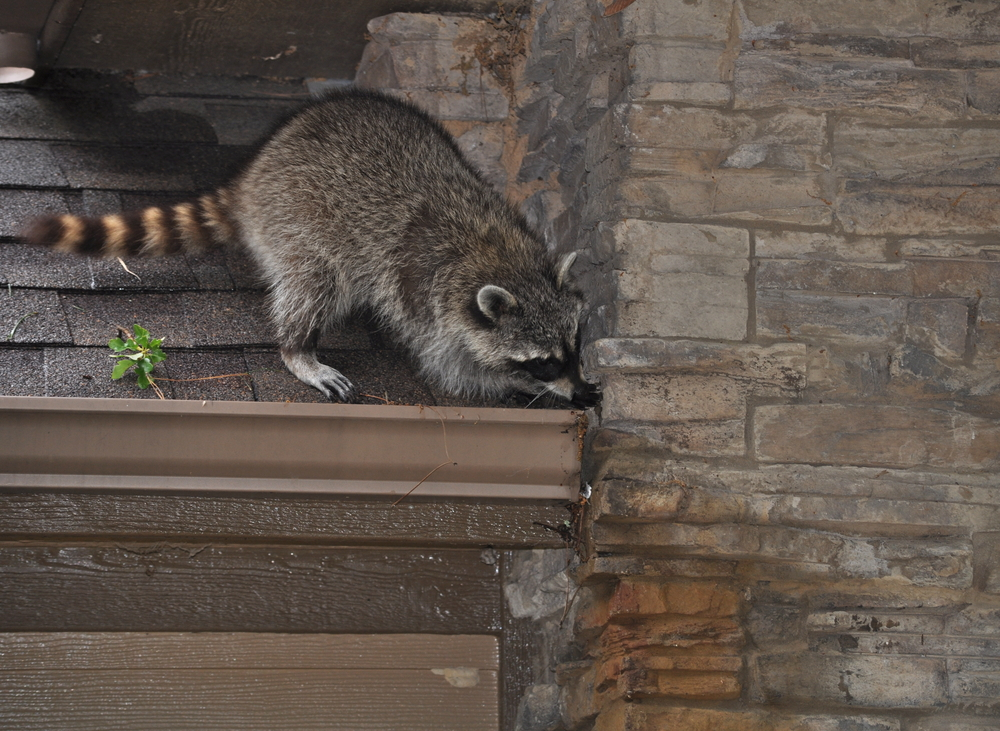 raccoon getting into a house